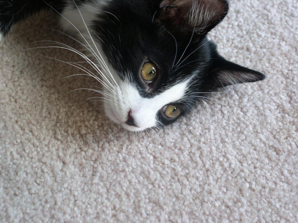 Katze auf dem Teppich; Bildquelle: flickr.com/photos/pagedooley/