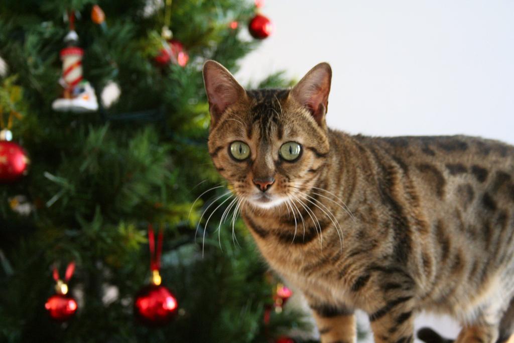 Katze Weihnachten (c) flickr.com/photos/zanastardust/